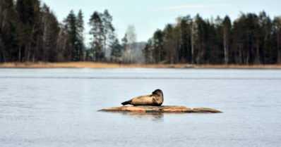 """Saimaan norppasaaristoja esitetään Unescon maailmanperintöluetteloon – """"Suomalaisen luonnonsuojelun symboli"""""""