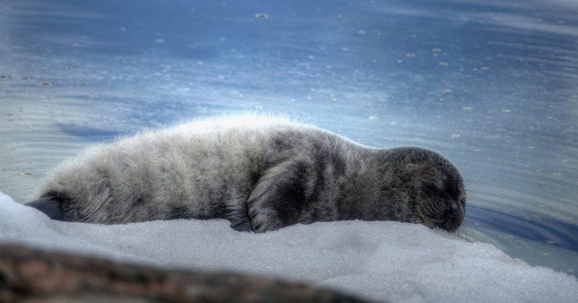 Saimaannorpan kuutti, uusimman arvion mukaan Saimaassa ui hieman alle 400 norppaa.