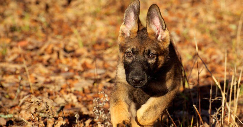 Koronapandemian myötä ihmisillä on enemmän aikaa olla kotona koiran kanssa.