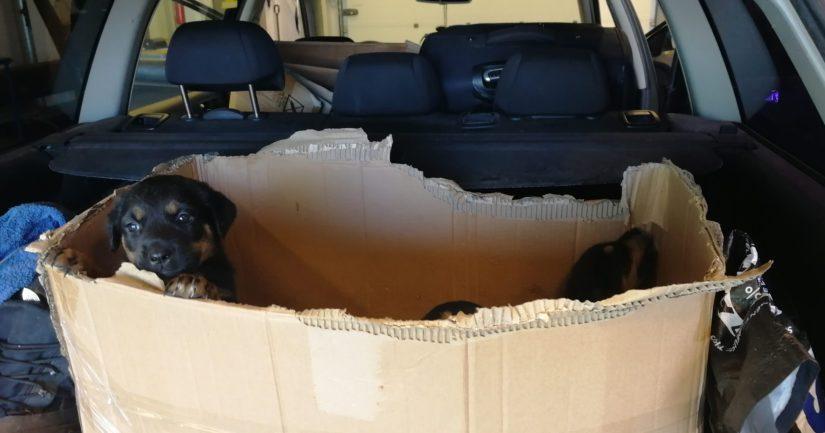 Virosta Suomeen tuodut kahdeksan sekarotuista koiranpentua löytyivät auton peräkontista pahvilaatikkoon ahdettuina.