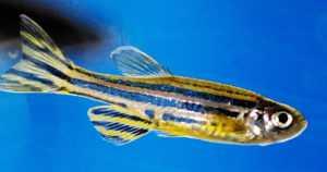 Seeprakalat apuna tautigeenien tutkimisessa – yllättäviä yhtäläisyyksiä ihmiseen