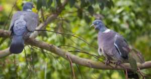 Metsästäjäliitto korostaa vastuullisuutta kyyhkyjahdissa – mukana voi olla myös rauhoitettuja lintuja