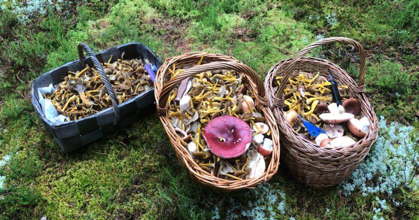 Ahkeralla sienestäjällä on joskus myös onnea matkassa, saalis yli 15 kiloa.