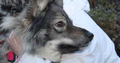 Koiraneiti Siru etsii itselleen uutta kotia – taustalla omistajan vakava sairastuminen