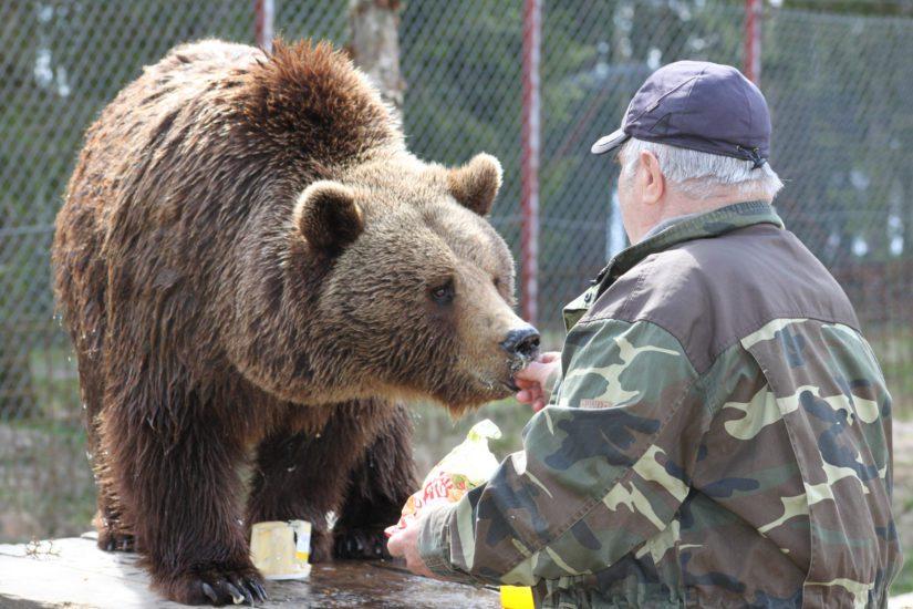Sulon karhut ovat oppineet myös herkuttelemaan. Hunajan lisäksi kontiot rakastavat hampurilaisia, pehmeitä nallekarkkeja sekä kirsikoita.