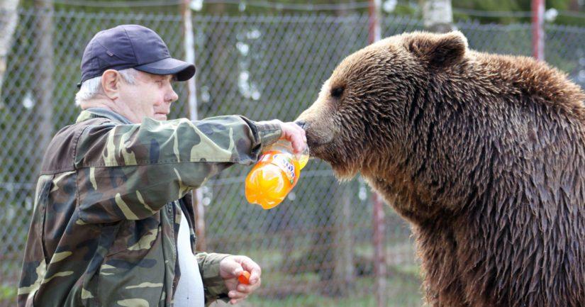 Sulon karhuilla on paljon ihmismäisiä tapoja. Esimerkiksi saunan jälkeen maistuu pullollinen limonadia.