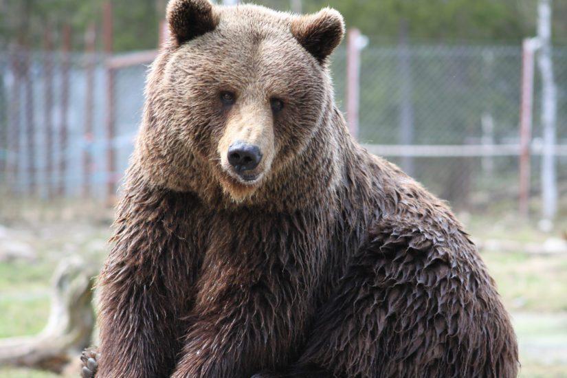 Samaa sukupuolta olevat karhut eivät kykene elämään rinnakkain. Pesäero tapahtuu yleensä kolmen vuoden iässä, jolloin karhu saavuttaa sukukypsyyden.