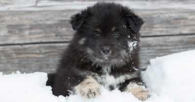 Labradorinnoutaja edelleen Suomen suosituin koira – Suomenlapinkoira jo toiseksi suosituin rotu