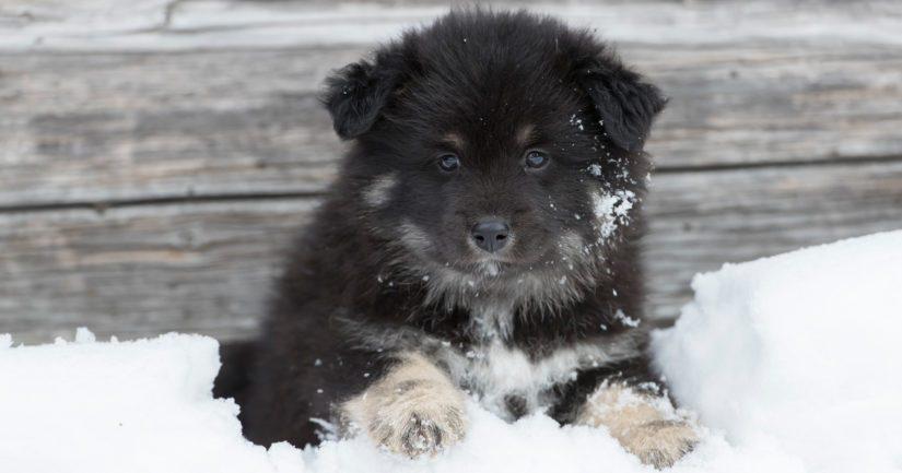 Toiselle sijalle tilastossa nousi ensimmäistä kertaa suomenlapinkoira.