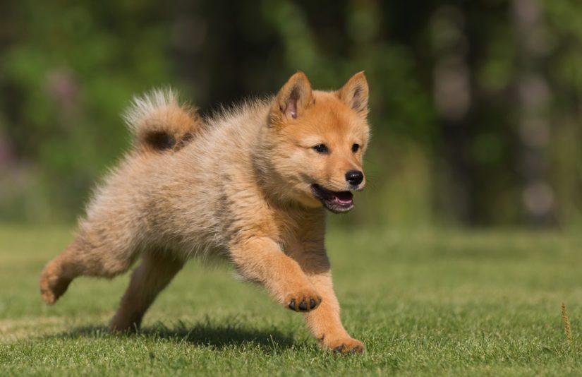 Suomenpystykorva on alkuperäinen luonnonkannasta ilman risteytyksiä syntynyt koirarotu.