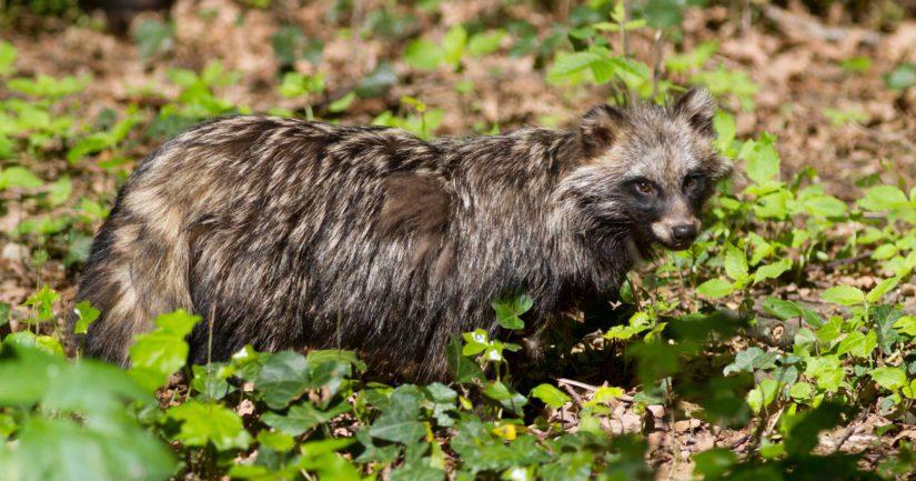 EU:n vieraslajiluettelossa on nyt myös Suomessa jo laajasti luontoon levinnyt supikoira.