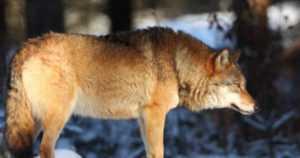 Susi raateli metsästyskoiran – eläinlääkäri lopetti vaikeasti loukkaantuneen koiran
