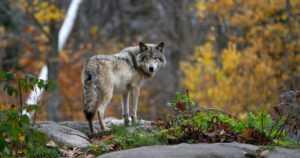 Poliisi selvittää – onko susi hyökännyt koiraa ulkoiluttavaan henkilöön kiinni?