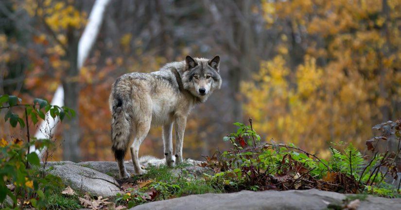 Metsästysvuoden käynnistyttyä on erityisesti susireviirialueilla koiralla metsästävien hyvä ennakoida suden ja koiran kohtaamista.