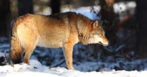 Suurikokoinen susi raahasi koiraa järven jäällä – toinen joutui henkilöauton töytäisemäksi