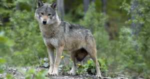 Auto ja susi kolaroivat – metsään juossutta eläintä ei ole etsinnöistä huolimatta toistaiseksi löydetty