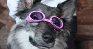 Taru-koira pelasti emäntänsä hengen – nyt roolit ovat vaihtuneet