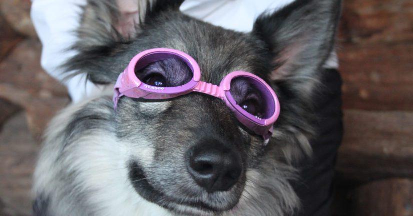 Pannustaudin takia Tarun silmät ovat herkät erityisesti ultraviolettisäteilylle, joten ulkoillessa koiraneiti pitää mielellään suojalaseja.