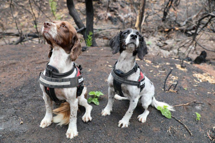 Esimerkiksi Queenslandin osavaltiossa Taz ja Missy löysivät kahdessa päivässä seitsemän elossa olevaa koalaa palaneesta metsästä.