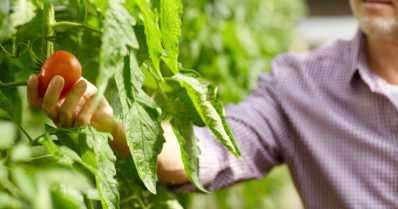 Oletko nähnyt tomaattikauppiaan Närpiöstä? – Katso video!