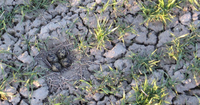Töyhtöhyyppä munii vaatimattomaan pesäänsä neljä munaa.