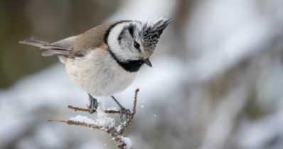 """Uhanalaisia lintuja suorassa lähetyksessä – """"Töyhtötiaisen näkeminen sykähdyttää aina"""""""