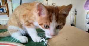 Eläinten pelastusrinki pelasti kissanpennun puusta – Urho naukui ja pelkäsi parinkymmenen metrin korkeudessa