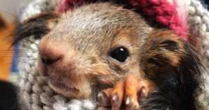Oravavauva Väkkärä on löytöeläinkodin erikoisin asukki –