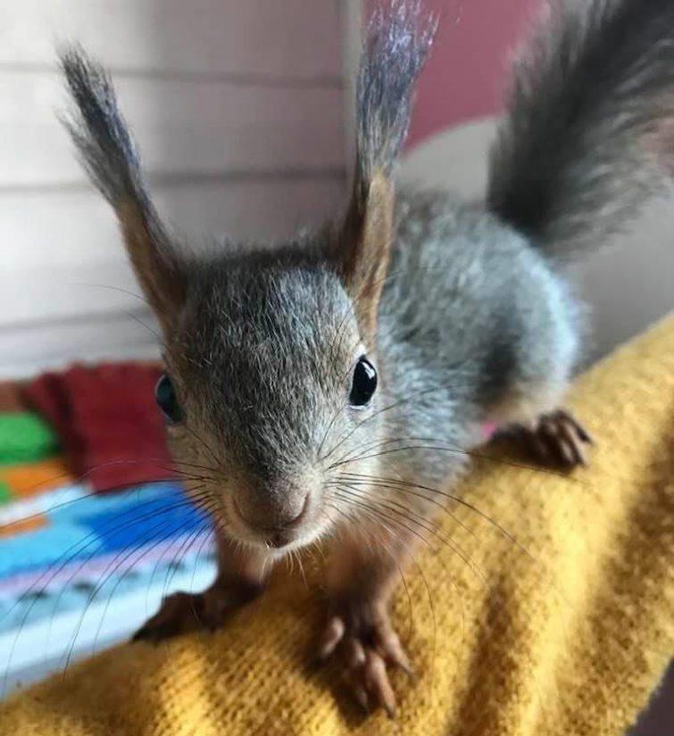 Väkkärää ryhdytään pikkuhiljaa opettamaan metsässä vilistävän oravan tavoille.