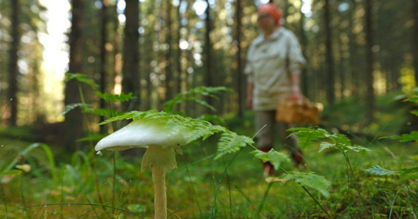 Paras tapa välttää sienimyrkytys on poimia vain sieniä, jotka tunnistaa varmasti.