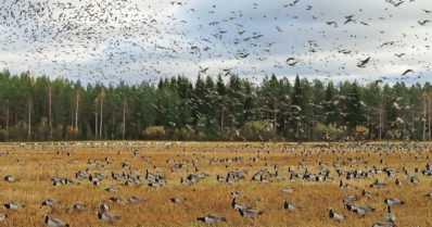 Valkoposkihanhet ovat saapuneet Suomeen – pääjoukko tulossa toukokuussa