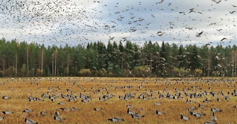 Hanhien aiheuttamien vahinkojen torjuntaa varten ELY-keskukseen on perustettu lajivahinkokoordinaattorin virka.