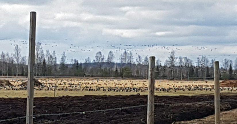 Valkoposkihanhia pellolla Pohjois-Karjalassa.