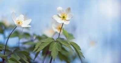 Kevätseuranta kutsuu perheet luonnon äärelle – keväisistä lajeista kerätään runsaushavaintoja