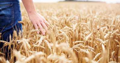 Miksi näin – viljaa tuli vähän ja laatu on heikko?