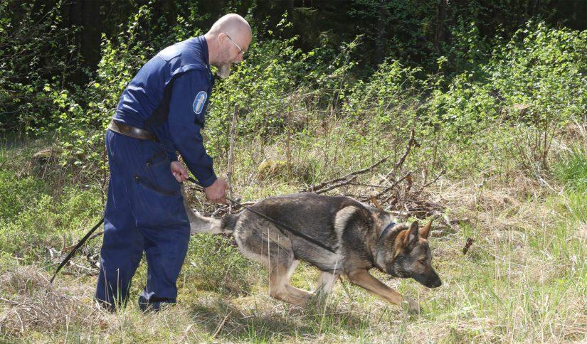 Poliisin huumekoirien SM-kakkoseksi vainusi saksanpaimenkoira Vertti ohjaajansa Vesa Hiltusen kanssa.