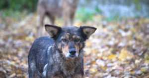 Venäläinen villikoiralauma tuli rajan yli – poliisin päätöksellä on lopetettu jo kymmenkunta koiraa