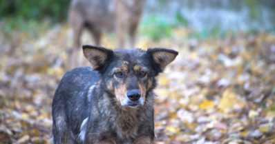 Kaksi villiintynyttä koiraa lopetettiin – loukkaantuneille koirille ei löytynyt omistajaa