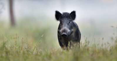 Villisika haavoittui metsästyksen yhteydessä – aggressiivinen eläin voi hyökätä ihmisiä kohti